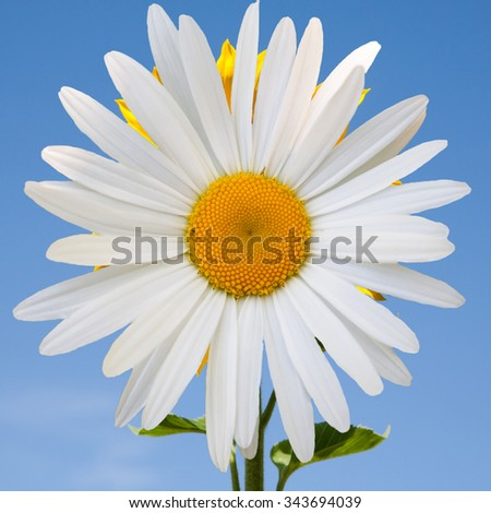 Beautiful flower white daisies on blue sky background - stock photo