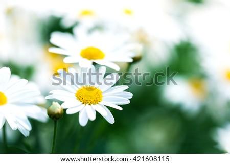 beautiful flower white daisy in garden - stock photo