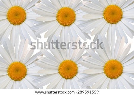 beautiful flower white daisy on white background - stock photo