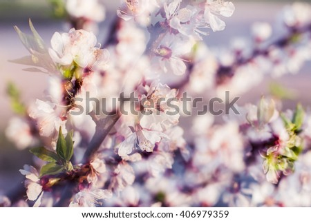 Beautiful flowering apple trees. background with blooming flowers. Blooming cherry flowers in spring  multiexposure image, natural floral seasonal background. Toned image with selective focus  - stock photo