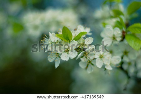 beautiful flowering apple trees. background with blooming flowers in spring day. selective focus and bokeh. toning vintage style. Blooming apple tree in spring time. Beautiful decorative white apple - stock photo