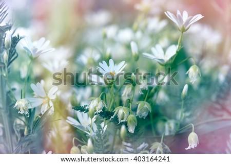 Beautiful flowering - blooming white flowers in spring - stock photo