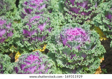Beautiful Flowering Cabbage in the garden , Chiang Mai, Thailand - stock photo