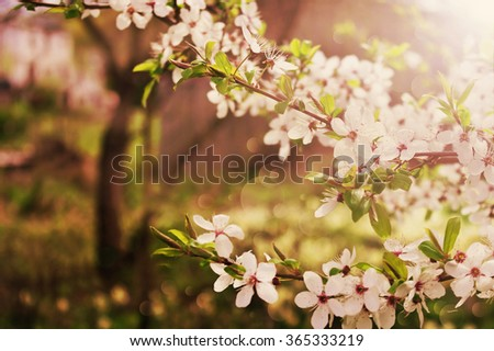 beautiful flowering cherry tree. the background with blooming flowers in spring day. selective focus . toned image - stock photo
