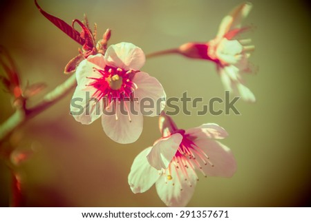 Beautiful flowering Japanese cherry - Sakura. Background with flowers on a spring day, vintage retro style.