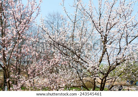 Beautiful flowering Japanese cherry - Sakura. Blue sky background  Background with flowers on a spring day. - stock photo