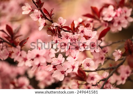 Beautiful flowering japanese cherry -Sakura. Marsala - color trend.  Blurred spring background. Background with flowers on a spring day.  - stock photo