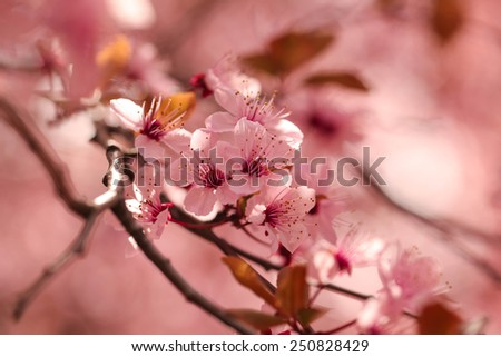 Beautiful flowering japanese cherry - Sakura. Marsala - color trend. Blurred spring background. Background with flowers on a spring day.  - stock photo