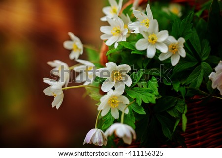 Beautiful flowers Anemone nemorosa (common names: wood anemone, windflower, thimbleweed, and smell fox) in the forest. - stock photo