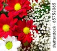 Beautiful flowers background with red and white chrysanthemum - stock photo