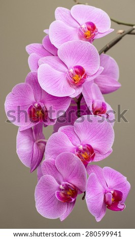 Beautiful flowers blooming orchid closeup. - stock photo