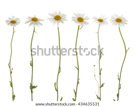 beautiful flowers field of daisies, with white soft petals and a bright yellow center, on a thin green stems on a white background isolation - stock photo