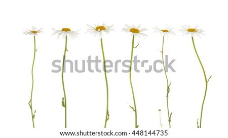 beautiful flowers field of daisies, with white soft petals and a bright yellow center, on a thin green stalk on a white background isolation - stock photo