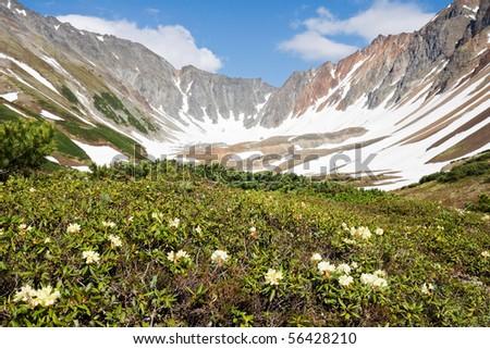 beautiful flowers grow near volcano near by cool snow - stock photo