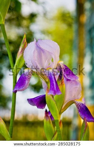 Beautiful flowers irises