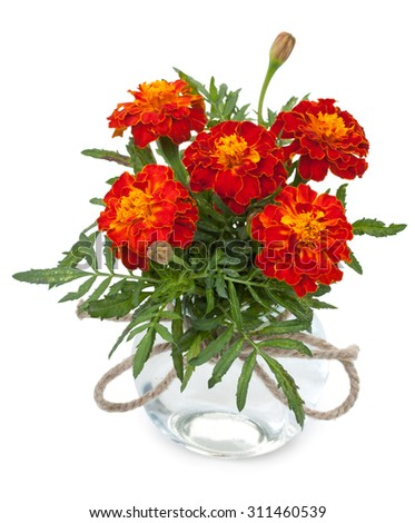 Beautiful flowers marigolds in a glass jar with ropes bowknot, isolated on white background. - stock photo