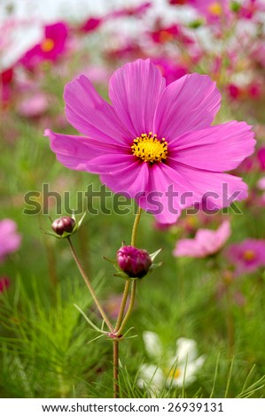 Beautiful flowers of a coreopsis - stock photo