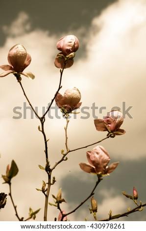 Beautiful Flowers of a Magnolia Tree. Retro style. - stock photo