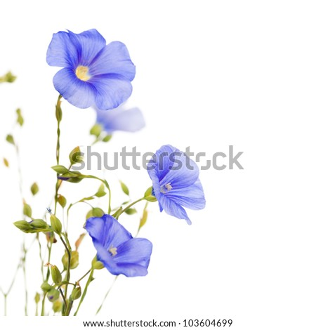 Beautiful flowers of flax isolated on white background - stock photo