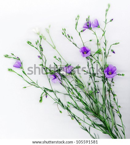 Beautiful flowers of flax on white background - stock photo