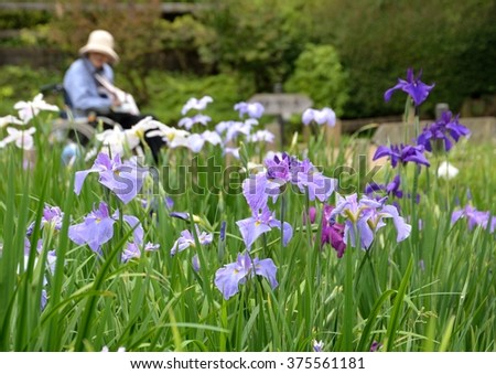 beautiful flowers of japanese iris in early summer
