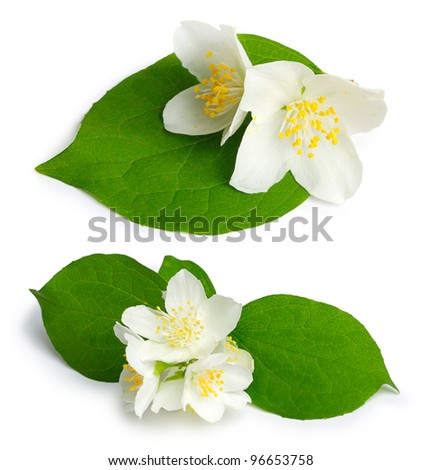 Beautiful flowers of jasmine (mock-orange, Philadelphus) on the white background - stock photo