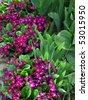 beautiful flowers of primroses - stock photo
