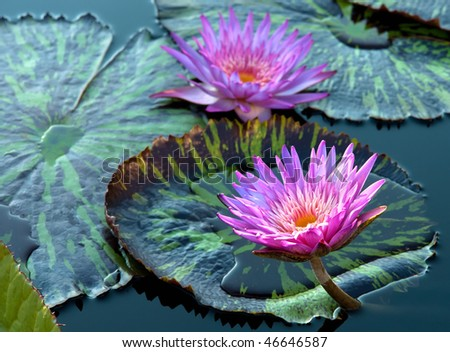Beautiful flowers of water lily - stock photo