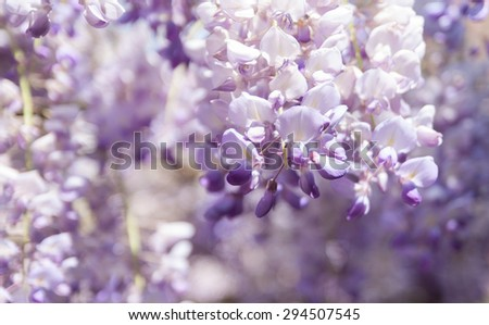 Beautiful flowers of Wisteria blooming in spring  - stock photo
