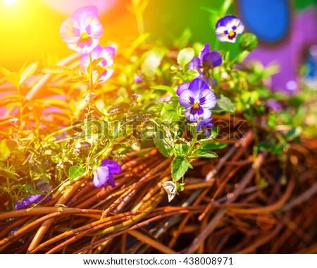 beautiful flowers pansies - stock photo