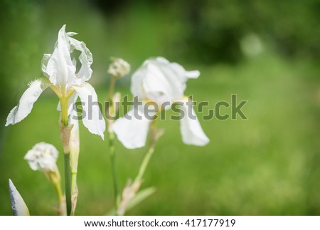 Beautiful Flowers white iris grow