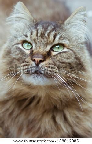 beautiful fluffy cat closeup face stares - stock photo