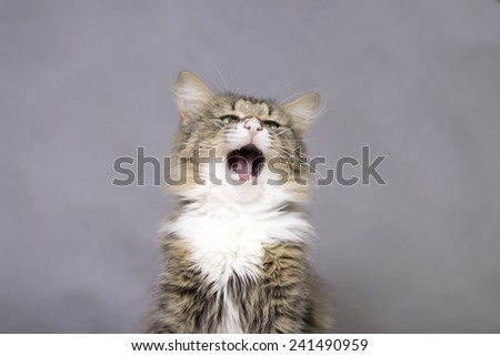 beautiful fluffy cat yawning with mouth open - stock photo