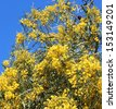 Beautiful  fluffy  fragrant West Australian wattle acacia species  blooming in early spring  in Big Swamp wildlife parklands  are framed against an azure blue  sky. - stock photo