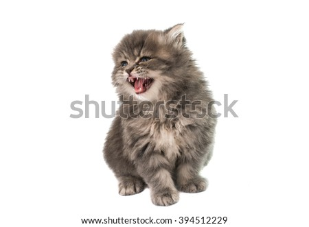 beautiful fluffy kitten on a white background