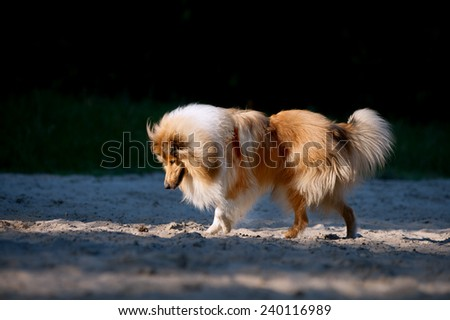 Beautiful fluffy red and white dog collie and is interested in looking down on the subject in the sand on the dark background of the forest - stock photo