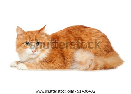 Beautiful fluffy red cat. Isolated on white background