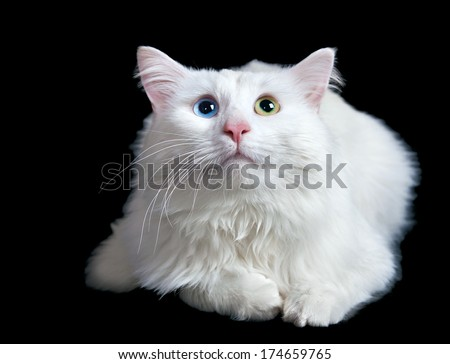 beautiful fluffy white cat with different eyes isolated on a black background - stock photo