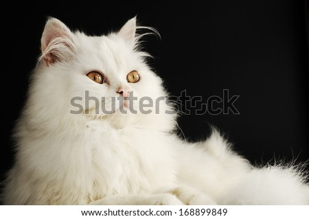 Beautiful fluffy white Persian cat relaxing