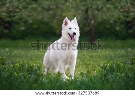 Beautiful fluffy white Swiss Shepherd. The dog stands in a field on a green background blurred garden.