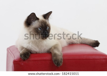Beautiful, fluffy, young tomcat on a red pouf with white background