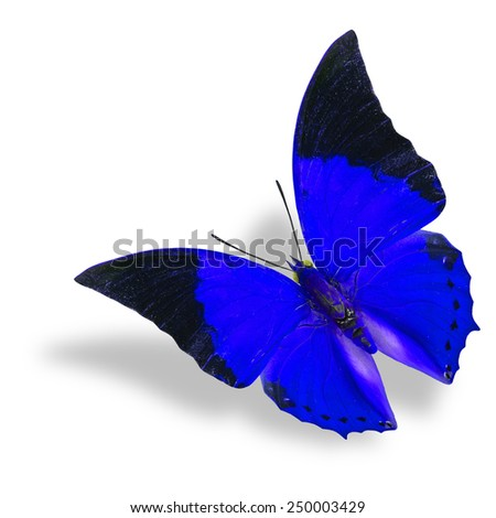 Beautiful flying blue and black wing tip butterfly (Tawny Rajah) on white background with soft shadow - stock photo