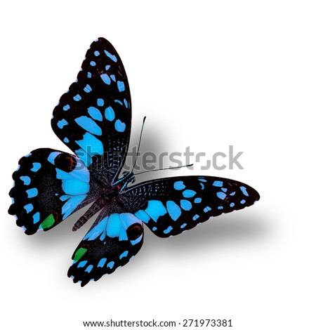 Beautiful flying light blue butterfly, the colorful Lime butterfly in fancy color profile - stock photo