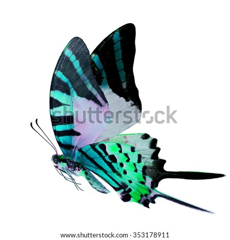 Beautiful flying pale green butterfly with  long knife tails isolated on white background