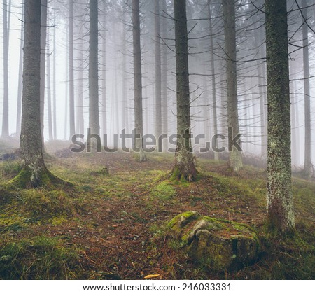 Beautiful foggy forest with pines - stock photo