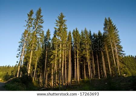 Beautiful forest at sunrise - stock photo