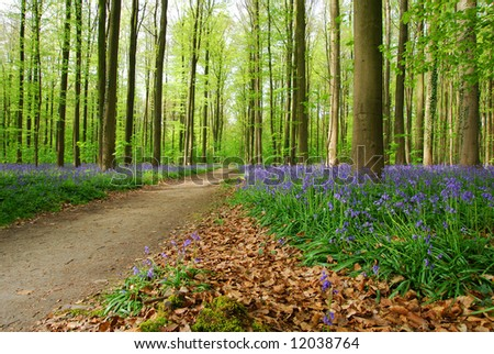 Beautiful forest with beech trees and blue wood hyacinths. - stock photo