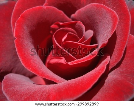 Beautiful fragrant red rose macro - stock photo