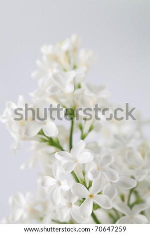 Beautiful fragrant white lilac on white background. Soft focus - stock photo