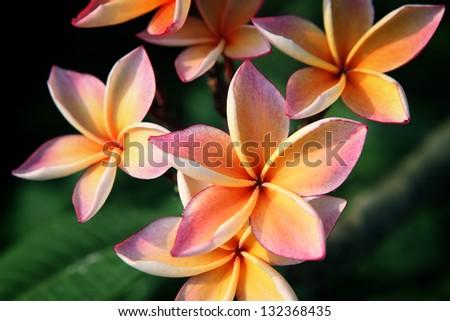 beautiful frangiapani flower. - stock photo